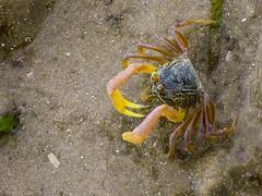 Thailand 057 - Nopparat Beach (near Krabi).jpg (mmarote) Tags: asia cangrejo crustaceos fauna tailandia thailand