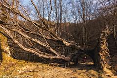 Mount Adarra - old tree (sejunco) Tags: 2017 monte adarra