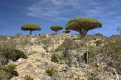 yem_1547 (Peter Hessel) Tags: yemen socotra soqotra jemen dragonbloodtree dracaenacinnabari