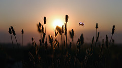 Sunset bee (Dragan*) Tags: light sunset sky sunlight plant reflection nature field grass sunshine insect outdoors fly weed dusk bee serenity romantic