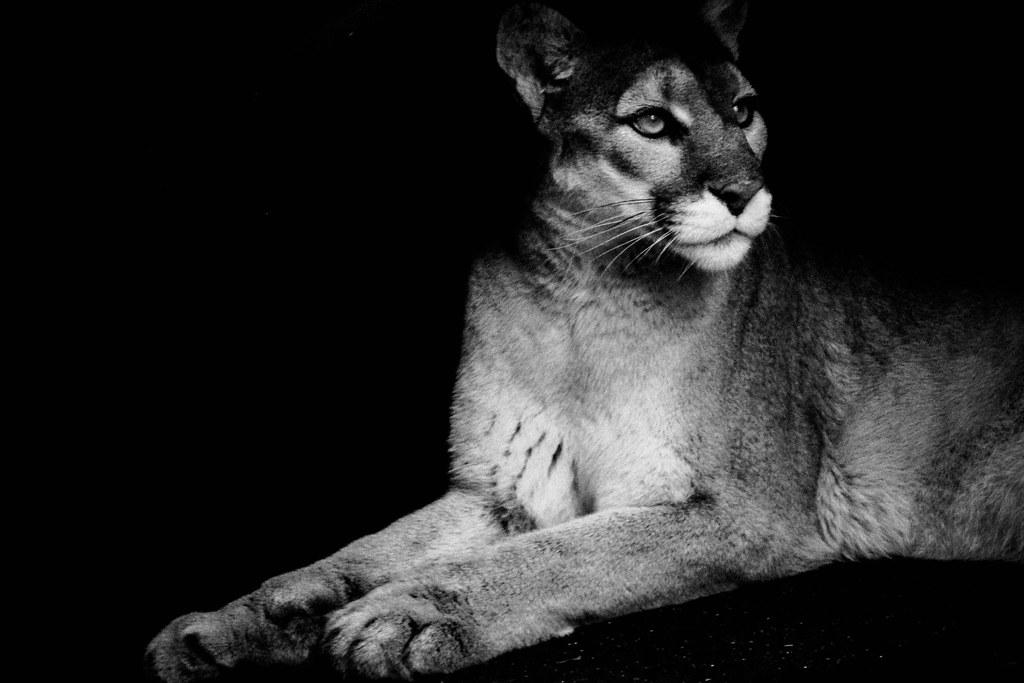 35 schwarzer puma bilder  besten bilder von ausmalbilder