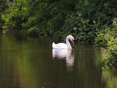 Mute Swan (Nomadic074) Tags: light nature reflections swan nottinghamshire muteswan chesterfieldcanal