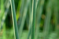 A special kind of reed. - On Explore - (Hein Breckmann) Tags: reed riet