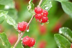 Rich Provision (Alemap.1) Tags: macro nature rain drops berries