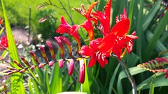 """Crocosmia """"Lucifer"""" (horsepj) Tags: flowers red plants blossoms indiana elkhart raceme"""