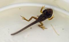 Go! (Wildlife Online) Tags: animal wildlife amphibian hampshire frog rana tadpole britishwildlife froglet gardenwildlife ranatemporaria gardenfrog commonfrog ukwildlife britishamphibian marcbaldwin wildlifeonline