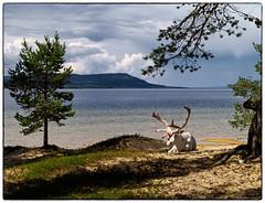 White Reindeer (Krogen) Tags: summer norway norge sommer norwegen krogen reinsdyr hedmark femunden engerdal olympuse400