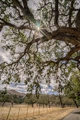 sunstar (beachwalker2008) Tags: blue sky cloud tree field yellow gold oak sunburst sunstar