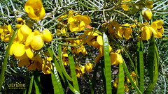 Arizona Feathery Cassia ~ Senna Artemisioides (atridim) Tags: arizona photo flickr widescreen 169 captainrick featherycassia sennaartemisioides 16x9widescreen virtualjourney atridim