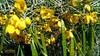 Arizona Feathery Cassia ~ Senna Artemisioides (atridim) Tags: arizona photo flickr widescreen 169 captainrick featherycassia sennaartemisioides 16x9widescreen virtualjourney atridim