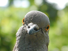 Feral Pigeon (cocabeenslinky) Tags: world city uk england london art me nature lumix photography one im natural you photos who pigeon g united capital hell july kingdom here well east panasonic only end else then talking talkin feral eastend 2015 vario dmcg6 cocabeenslinky