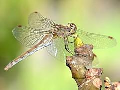 Libélula (Sympetrum fonscolombii), Zaragoza (eustoquio.molina) Tags: dragonfly libélula sympetrum fonscolombii montecanal