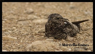 Common Nighthawk (Chordeiles minor)- CONI -