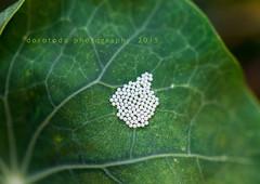 A whole lotta egg (Dorotodo) Tags: leaf egg whole vein grn blatt lotta weiss ei adern naturea