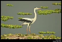 Grey Heron (Mitesh S) Tags: india lake heron birds canon rebel grey pashan pune xsi 450d 55250mm