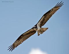 osprey2 (Gerry Verrier) Tags: birds wildlife manitoba raptor fisher osprey selkirk