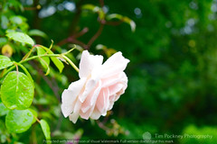 Around the house - 22nd July 2015 (TimPockney) Tags: flowers party summer portrait macro nature against cards humanity