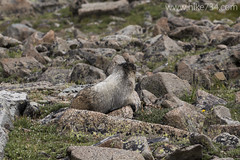 """Hoary Marmot • <a style=""""font-size:0.8em;"""" href=""""http://www.flickr.com/photos/63501323@N07/19963171440/"""" target=""""_blank"""">View on Flickr</a>"""