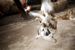 27-247 (ndpa / s. lundeen, archivist) Tags: people bali dog man color bird film birds 35mm indonesia nick cock arena dirt southpacific baskets rooster cocks 1970s 27 1972 roosters indonesian crouching cockfight gamecock squatting gamecocks cages dewolf oceania pacificislands cockfighting nickdewolf photographbynickdewolf cockfightingarena reel27 cockfightarena