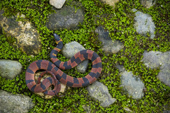 Red Coffee Snake (santosh_shanmuga) Tags: red nature coffee animal outdoors nikon rainforest outdoor reptile snake wildlife bonito sigma honduras pico serpent tropics herp herpetology ninia scaly 150mm fossorial d3s thelodgeatpicobonito