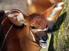 bongo Blijdorp JN6A4888 (j.a.kok) Tags: bongo antilope afrika africa blijdorp mammal herbivor zoogdier