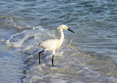 In the Moment -- a White Snowy Egret (SteveFrazierPhotography.com) Tags: whitesnowyegret stumppassbeach statepark sunset sand shoreline shore gulfofmexico gulfcoast coastline coast beach may 2016 stevefrazierphotography canoneos60d waves water color beautiful scene afternoon surf wave splashing hunting fishing plumes plumage feathers yellowfeet blacklegs