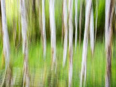 Impressionism (Carlo Milanese) Tags: impressionismo impressionism trees alberi mosso longexposure verde green bosco hood forest motion