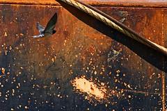IMG_0424 Blue swallow flying by the boats (Rodolfo Frino) Tags: swallow golondrina bird ave fauna bright rusty ship rust flight flying vuelo rope blue blueswallow natur nature naturaleza natural metal