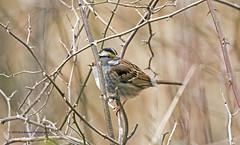 White-Throated Sparrow (rumerbob) Tags: whitethroatedsparrow sparrow songbird bird birdwatching birdwatcher nature naturewatcher wildlife peacevalleypark lakegalena canon7dmarkii canon100400mmlens