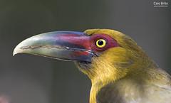 Saffron Toucanet (Pteroglossus bailloni) - Tapiraí-SP