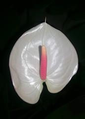 Anthurium 013 (DMT@YLOR) Tags: flower anthurium white pink night flash light bright