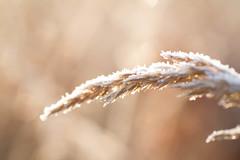 IMG_8990.jpg (chrismain28) Tags: tamron 90mm canon 7d macro herbe hivers soleil