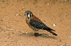 American kestrel (SteveInLeighton's Photos) Tags: transparency england gloucestershire agfachrome newent 1981 may falconry falcon kestrel