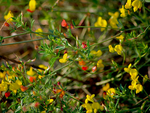 Лядвенец рогатый / Lotus corniculatus / Common bird's-foot trefoil / Обикновеният звездан  / Gewöhnlicher Hornklee