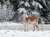 _1TW8117 Swampy Acres Horse (terrificphotos) Tags: juneaualaska eagles horses rooster guineafowl geese sunrise turkey minihorse stars snow cold swampy acres