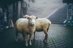 清境農場|合歡山 Hehuanshan (里卡豆) Tags: 清境農場 合歡山 sony a7 contax g 45mm f20 g45 hehuanshan