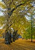 Walk in the Park (sussexscorpio) Tags: trees light gardens park uppsala shadows autumn sun sweden scandinavia landscape tree leaves nature outdoor foliage sunlight europe people canopy gold golden yellow green serene botanical botanicalgardens walk fall colours colour color branches