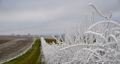 #AM Chez les Nivernais on cultive la glace sur pieds... :-) (Thierry.Vaye) Tags: givre hiver nièvre campagne nivernais champ