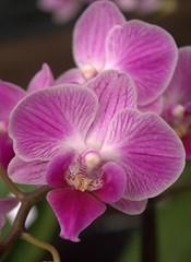 Buona Domenica (dona(bluesea)) Tags: orchid flower plant ortobotanico palermo sicilia italia