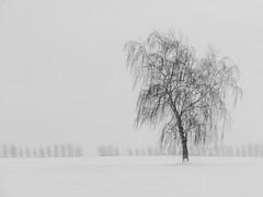 Birke (Wunderlich, Olga) Tags: birke bäume natur landschaft schneelandschaft rügen insel