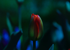 We are all broken...that's how the light gets in! (d.cobb56) Tags: twilght tulip solo dusk morning morninglight garden nature dof