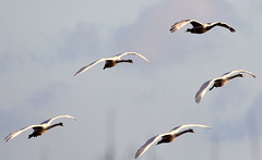 In formation. (pstone646) Tags: swans birds nature wildlife animals flight flying kent dungeness fauna wings
