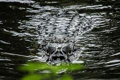 Black Caiman at Tahuayo river, Peruvian amazon - Loreto (andybicerra) Tags: caiman reptile black ngc flickr estrellas amazon jungle peru loreto iquitos predator river
