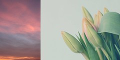 27/265 morning tulips (SarahLaBu) Tags: sky himmel morning morgen pink tulips tulpen diptych diptychon 365the2017edition 3652017 day27365 27jan17 canoneos500d canonrebelt1i