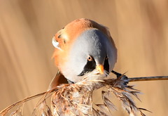Who's a pretty boy?! (pstone646) Tags: beardedtit bird nature animal fauna closeup wildlife kent stodmarsh bokeh