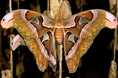 Atlas Moth Butterfly (nantel) Tags: night butterfly insect big wings moth large atlas attacus