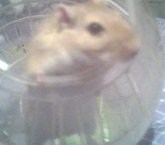 Belle ~01/01/2006~ 001 (payngie_27) Tags: gerbil rodent rodents gerbils