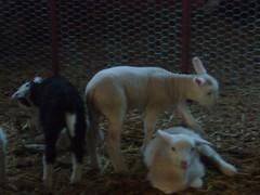 corderos