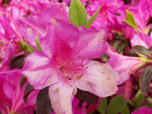 Azalea season in Mobile!