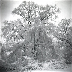 lace (mhartford) Tags: winter blackandwhite bw snow tree 120 film ice minnesota square top20winter lace lubitel diafine oldmanwinter edenprairie michaelkenna aristaeduultra100 utatafeature